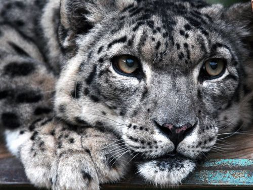 18 stunning photos of rare snow leopards