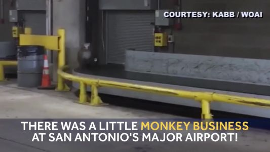 Crate escape: Monkey on loose at airport