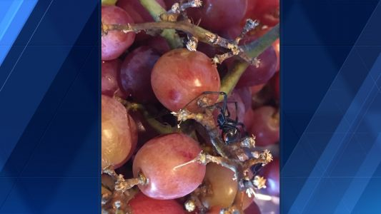 Woman finds two black widows in bag of grapes