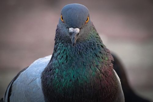 India captures pigeon on suspicion of spying for Pakistan