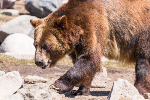 Protections Restored For Grizzly Bears In The Lower 48