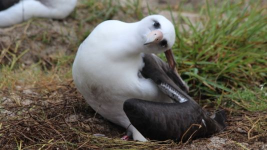 Wisdom The Albatross, World's Oldest Wild Bird, Lays Another Egg