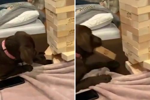 Jenga puppy should be invited to every game night