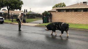 Deputies use Doritos to catch wayward pig