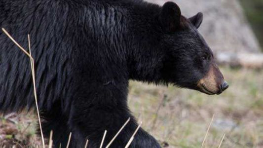 Bear spotted on University of Kentucky campus; other sightings reported in central KY