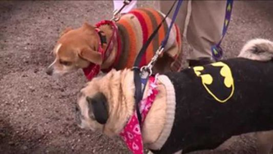 Blind pug, seeing-eye chihuahua are inseparable. An animal rescue group says they need your help