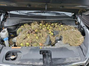 Pittsburgh woman finds squirrel's winter stash of nuts under car hood