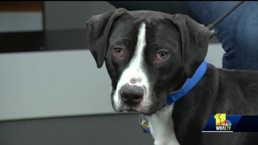 Stray dog at BARCS seeks new home