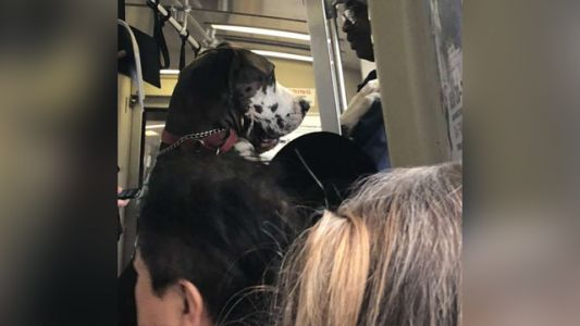 Giant, very good dog rides train on two feet like a man, goes viral