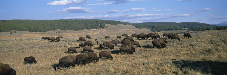 9-year-old girl injured after bison in Yellowstone National Park charges her