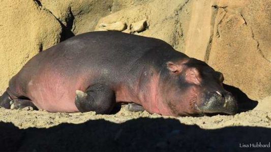 Fiona the hippo throwing a slumber party at Cincinnati Zoo