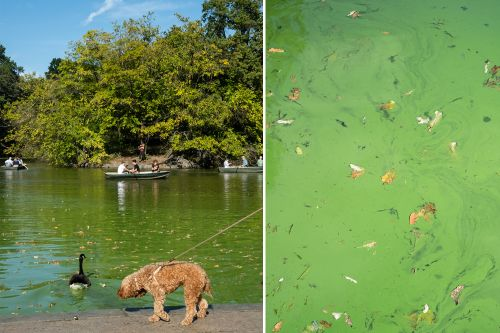 Yes, the water in Central Park can be toxic - especially for dogs