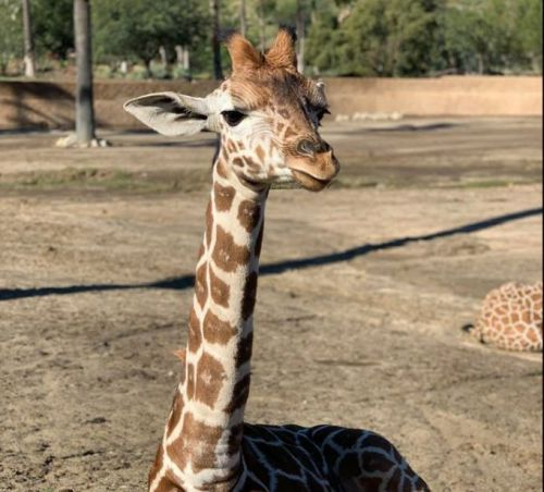 5-month-old giraffe euthanized at San Diego zoo after being gored by another animal