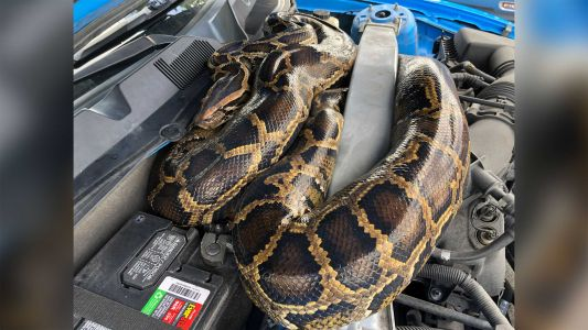 Florida wildlife officials captured a 10-foot-long python that had found its way into a Ford Mustang