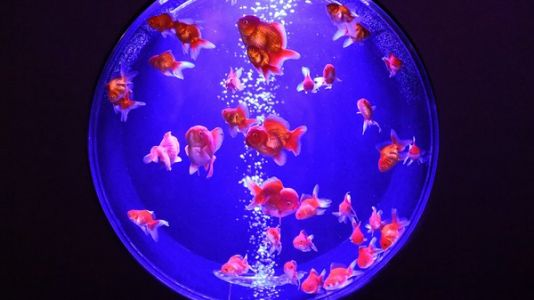 The Goldfish Tariff: Fancy Pet Fish Among The Stranger Casualties Of The Trade War