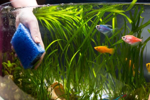 Maryland woman contracts rare melioidosis bacteria from fish tank: report