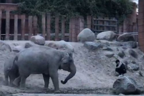 Polite elephants manage to 'escort' trespasser out of zoo enclosure