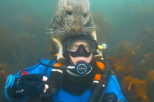 Cuddly seal puts his flippers all over diver's head