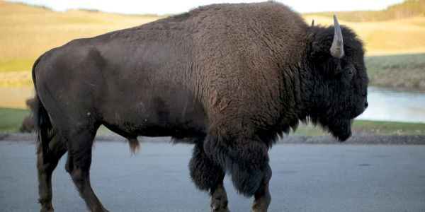 A bison tossed a 9-year-old girl into the air after charging a group of tourists at Yellowstone National Park