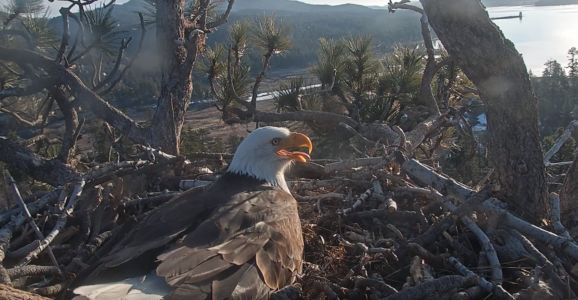 LIVE: Bald eagles waiting on eggs to hatch