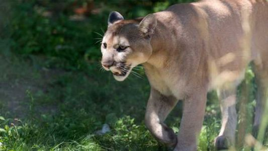 Did mountain lion kill family's cat? Indiana DNR launches probe