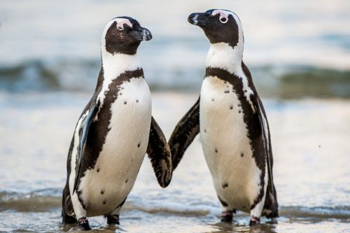 These gay penguins can't stop stealing other birds' eggs