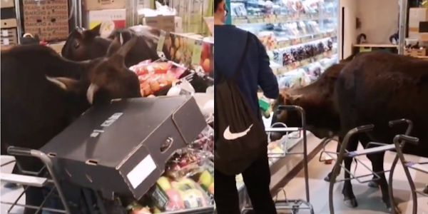 A herd of wild cows broke into a Hong Kong grocery store and started eating all its fruit and vegetables