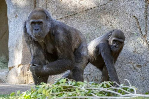 Ape at San Diego park improving after virus antibody therapy