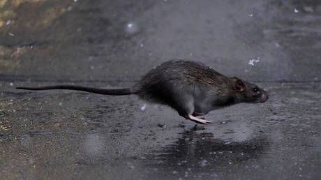 The ratpocalypse? Keiser Report explores pandemic's severe impact on NYC and. its RATS