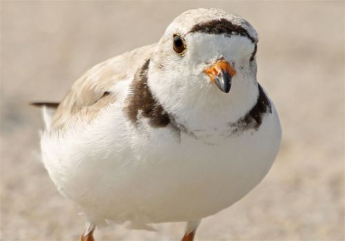 Despite mating drama, endangered piping plovers are returning to Pennsylvania