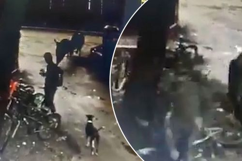 Guy checking his texts gets mauled by two raging bulls