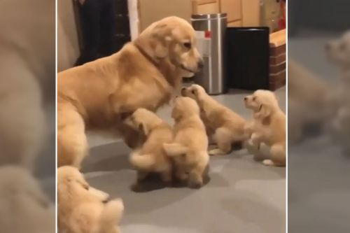 Dog hilariously 'hounded' by litter of tireless pups