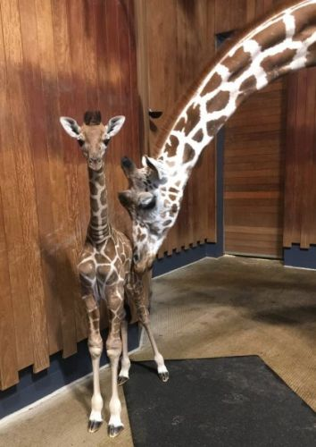 Como Zoo Needs Help Naming Baby Giraffe