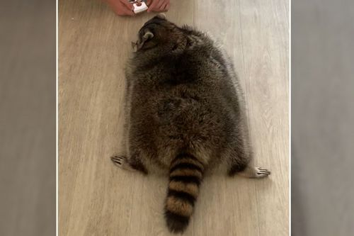 Obese raccoon needs to go on a diet