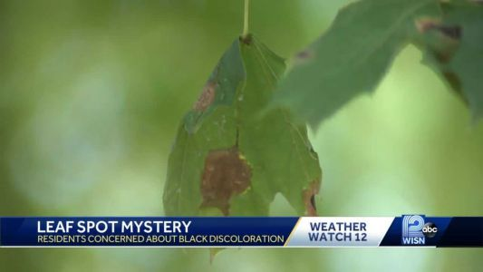 'Tar spots' appear on some maple tree leaves