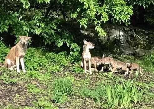 Dead coyote pups lead to backyard mystery