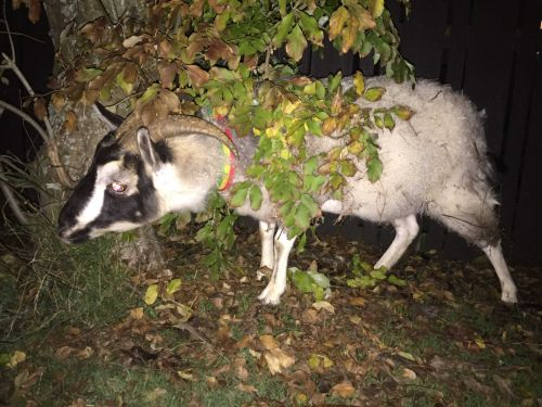 Woman's bike stolen as she chases runaway goat
