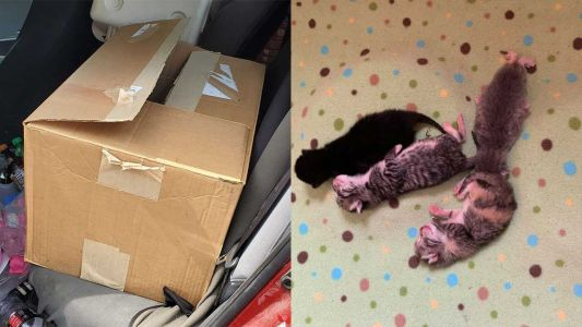 Cat in active labor found abandoned with newborn kittens in box in New England