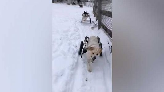 Aw! Canines in dog wheelchairs have fun in the snow