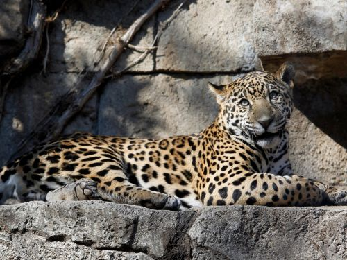 Arizona zoo says that 'nothing will happen' to the jaguar that attacked a woman who was taking a selfie