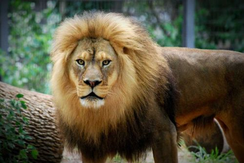 Popular 16-year-old lion dies at Topeka Zoo