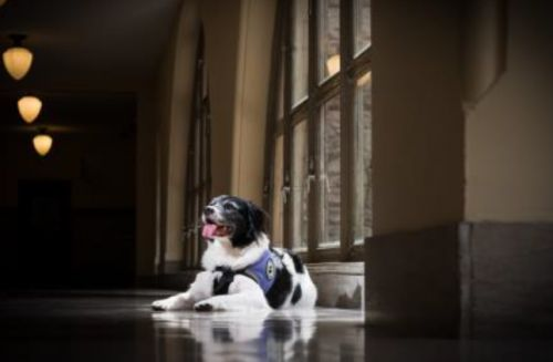 Pittsburgh-area comfort therapy dog nominated for national award