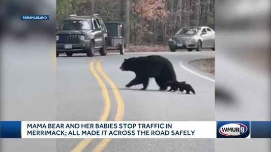 WATCH: Mother bear and cubs stop traffic in New England