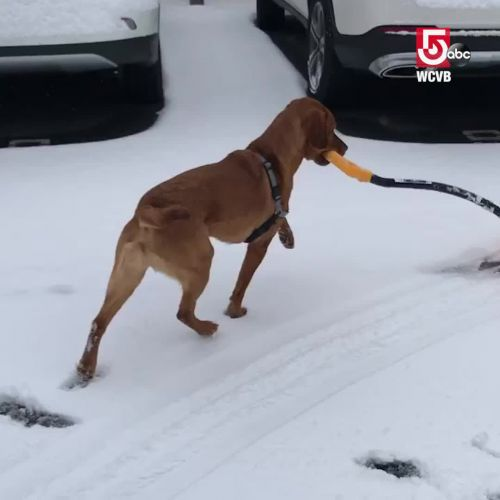 Good dog helps with shoveling