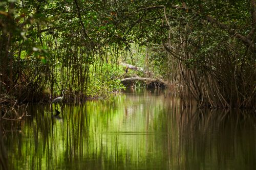 Conserving mangroves, a lifeline for the world