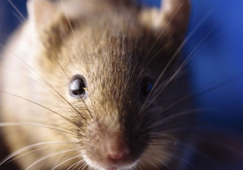 Temple researchers eliminate HIV in infected mice