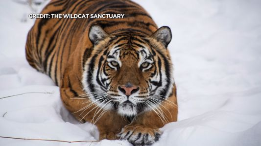 Tigers Recovering From COVID After Outbreak At Minnesota Sanctuary