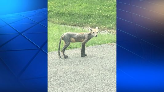 Coyote with mange spotted in South Hills