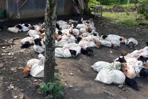Dogs butchered in horrific video exposing Indonesian meat trade