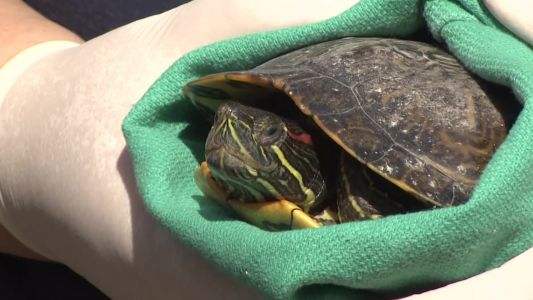 'Disturbing': Turtles found chained together used in religious ceremony, officials say